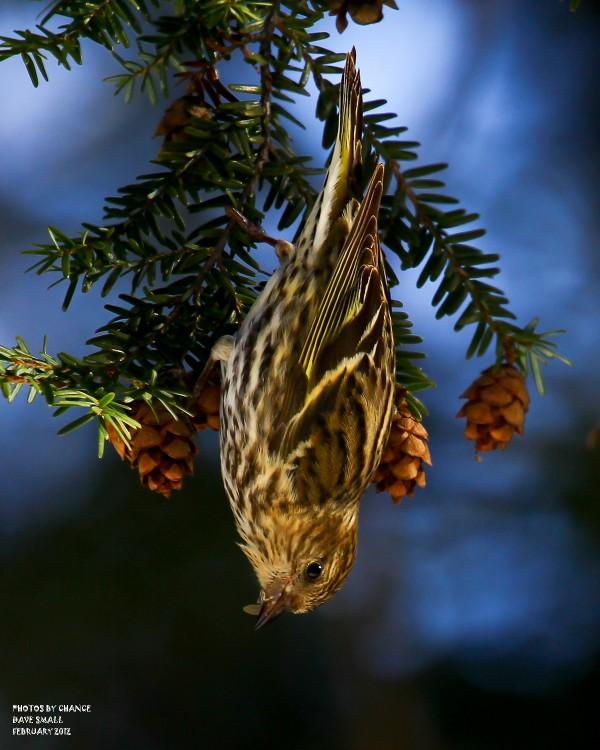 Just hanging around -- a pine siskin.