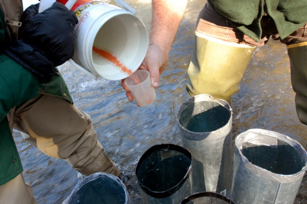 Peter Ruksznis (right), Department of Marine Resources fisheries biologist, catches Atlantic salmon eggs in a cup to pour into large, handmade funnels that will let the eggs sink into a hole they made in the bottom of Cove Brook in Winterport.