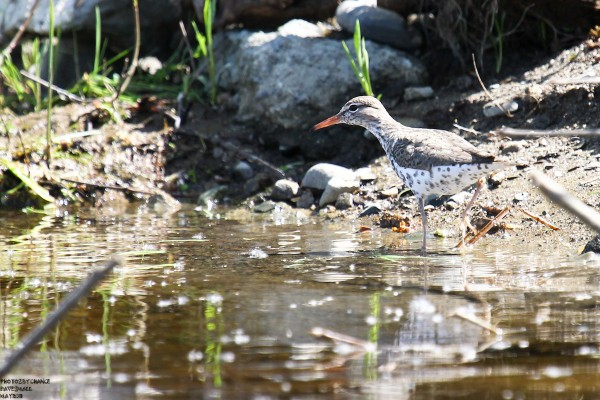 A spotted sandpiper along the Penobscot River.
