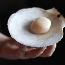 Scientist: Scallop surge study bears little on Maine