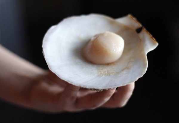 A scallop on the half shell is held in Portland, Maine.