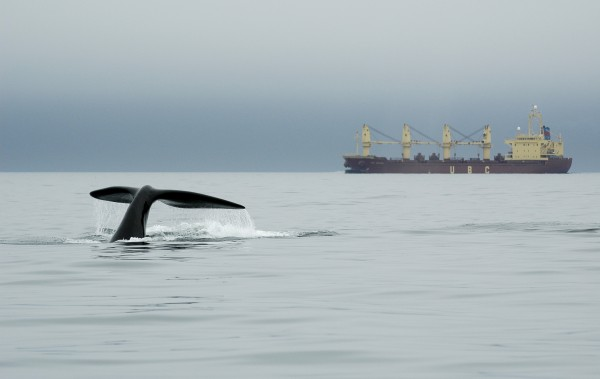 A right whale dives near a ship in Canada''s Bay of Fundy in 2007.