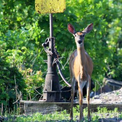 Maine deer kill dropped 14 percent to 18,045