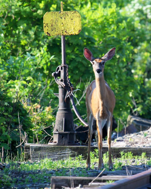 An Old Town deer checks out an observer.