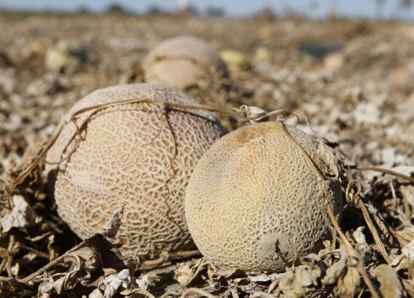 In this Sept. 28, 2011, file photo, cantaloupes rot in the afternoon heat on a field on the Jensen Farms near Holly, Colo. Pools of water on the floor and old, hard-to-clean equipment at the farm's cantaloupe-packing facility were probably to blame for the deadliest outbreak of food-borne illness in 25 years, the Food and Drug Administration said. President Barack Obama's proposed budget would eliminate the nation's only program that regularly tests fruits and vegetables for deadly pathogens, leaving public health officials without a crucial tool used to investigate deadly food-borne illness outbreaks.