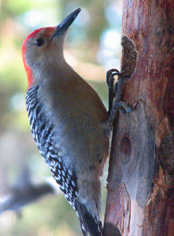 Regardless of what the guidebooks say, this red-bellied woodpecker has made his way to Maine, where he has spent much of the winter.