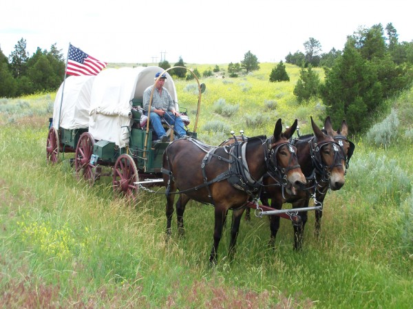 Nick Buck driving his mule-drawn wagon down the Oregon Trail.