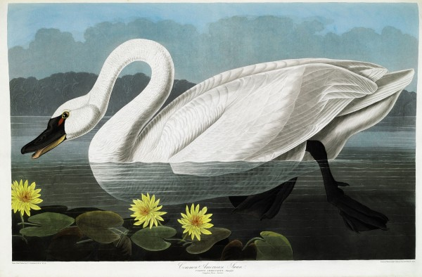 "A celebrated first folio edition of ""The Birds of America"" by John James Audubon, including ""Common American Swan,"" sold for $7.9 million recently at Christie's New York."