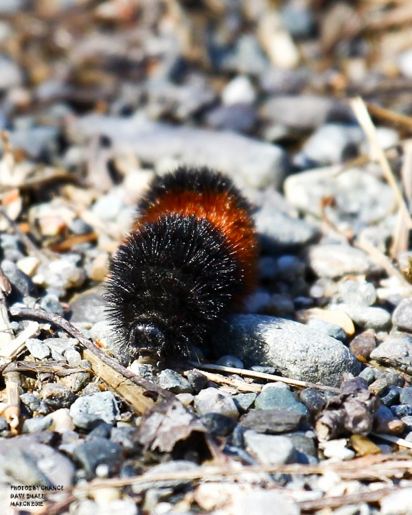 Wooly bear caterpillar on the move.