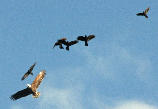 A flock of angry crows chase off an eagle that was trying to snatch some lunch in the form of a duck.