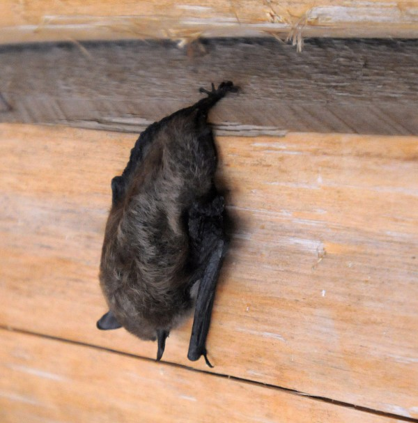 Saturday morning at Russell Pond revealed fresh snow and this bat that decided to take shelter in a lean-to with members of our group.