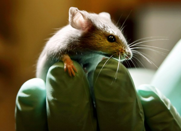 A laboratory mouse looks over the gloved hand of a technician at the Jackson Laboratory, in Bar Harbor in January 2005. The lab ships more than two million mice a year to qualified researchers.