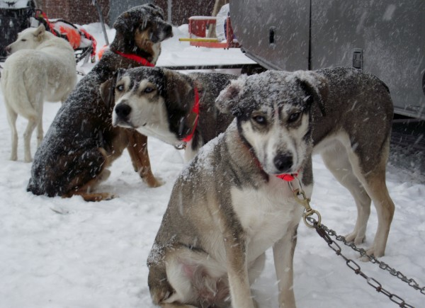 It was a snowy day for mushers and dogs during the Can Am Crown International Sled Dog Races in Fort Kent on Saturday, March 3, 2012. Here, a team of dogs awaits their turn at the start line.