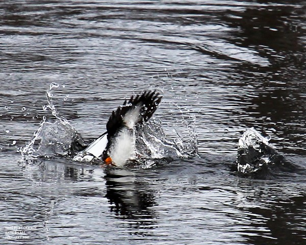 Common goldeneye at work.