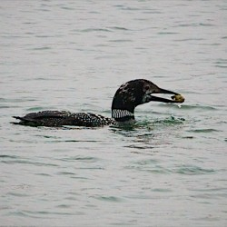 Lead is the top killer of Maine loons