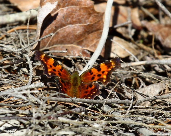 A colorful Eastern comma.