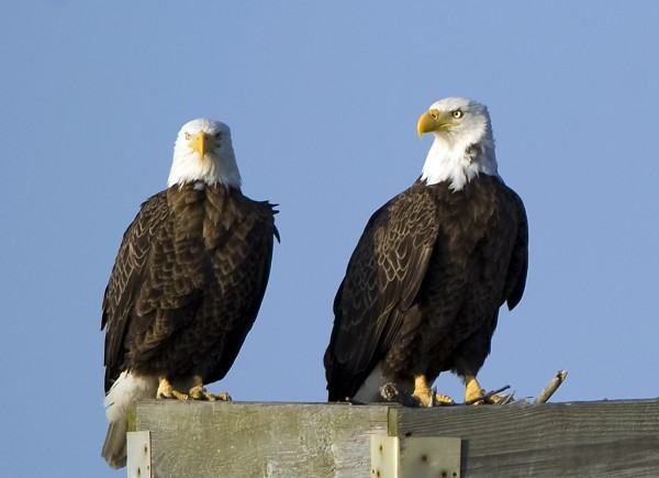 In this March 13, 2012 photo, two American bald eagles are perched on a nesting stand at the Blackwater National Wildlife Refuge in Cambridge, Md. There are few animals in the United States more shielded by law than bald eagles. At least two acts of Congress make it a potential crime to possess even a single unauthorized feather.