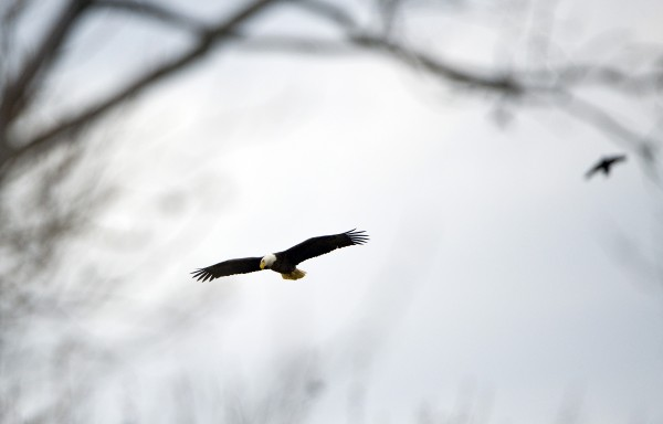 In this Feb. 22, 2012 photo, two Bald Eagles are shown flying at the Blackwater National Wildlife Refuge  in Cambridge, Md.