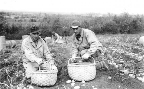 German prisoners of war pick potatoes in Houlton circa 1945.