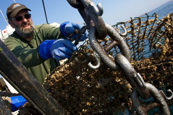 Dana McIntire cuts a wire lobster trap from a grappling chain aboard his lobster boat, the Island Lady, on Tuesday off Harpswell. McIntire used the chain and his shrimp fishing winches to drag Harpswell Sound for &quotghost gear&quot as part of a two-day local clean-up effort organized by the Gulf of Maine Lobster Foundation.