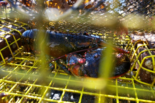 A string ghost traps lost in 2011 came aboard Dana McIntire's boat with lobsters Tuesday. The traps, still in usable condition, will be returned to their owner. The lobsters were thrown back.
