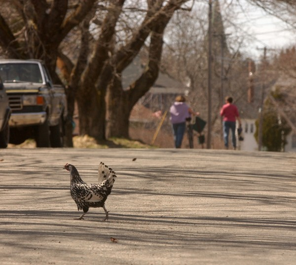 A chicken walks across the island's main road.