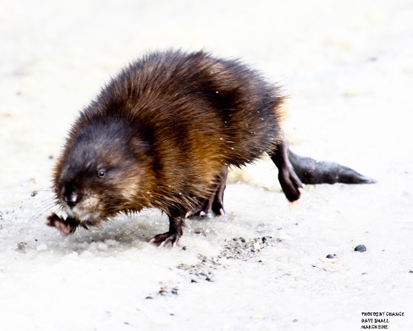 Muskrat in mid-stride