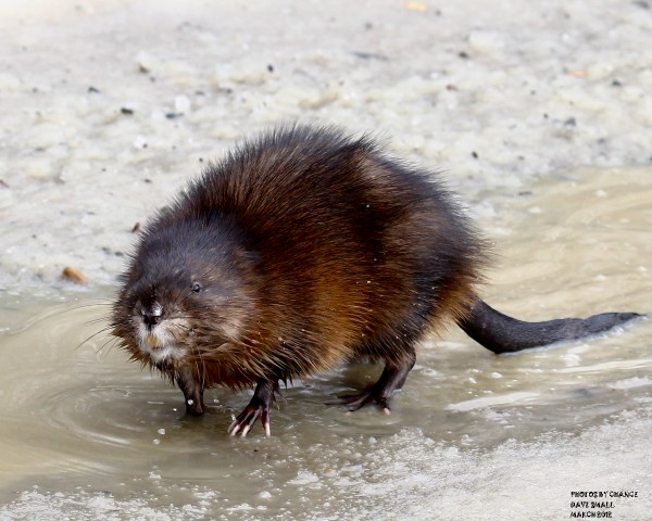 Muskrat on the move