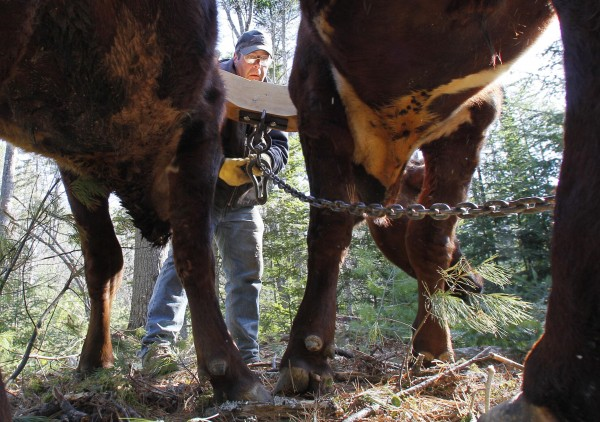 Mike Sproul attaches a chain to the yoke connecting Bright and Star before the steer twitch a heavy log from the woods Tuesday, March 27, 2012, in Waldoboro, Maine.