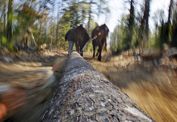A 900-pound white pine log is hauled out of the woods by a pair of steer guided by Mike Sproul, Tuesday, March 27, 2012, in Waldoboro, Maine.