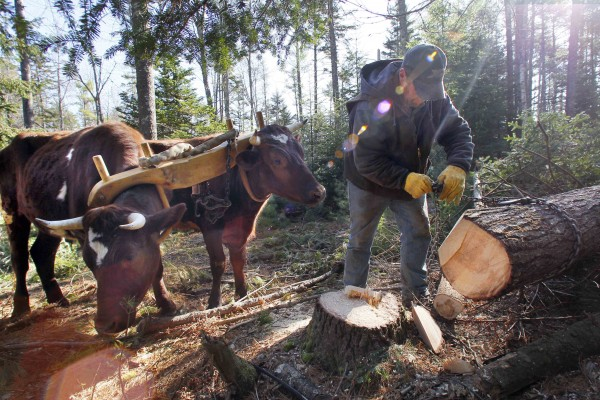 Mike Sproul fastens a chain to a white pine log while Bright and Star wait to go to work, Tuesday, March 27, 2012, in Waldoboro, Maine.