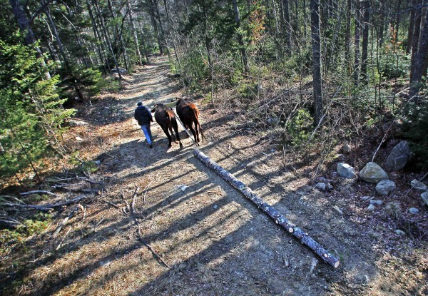 Mike Sproul and his team of Red Durham steer haul a log through the woods, Tuesday, March 27, 2012, in Waldoboro, Maine.