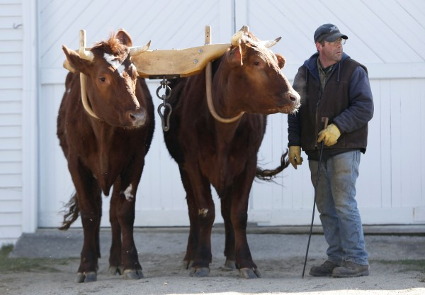 &quotIt's just a hobby,&quot says Mike Sproul, a seventh-generation farmer who logs, plows fields and competes at fairs with Bright and Star, a pair of 3-year-old Red Durham steers. The animals will classified as oxen when they turn 4.