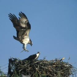 Nest camera uncovers osprey love triangle drama on Hog Island; female bird lays first egg of season