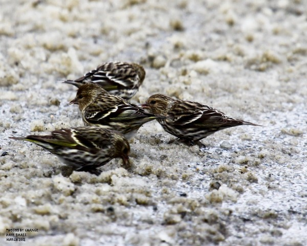 Pine Siskins were plentiful last weekend along the Alton Tannery Road.