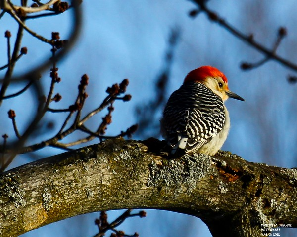 Red-bellied woodpecker finally stops to pose.