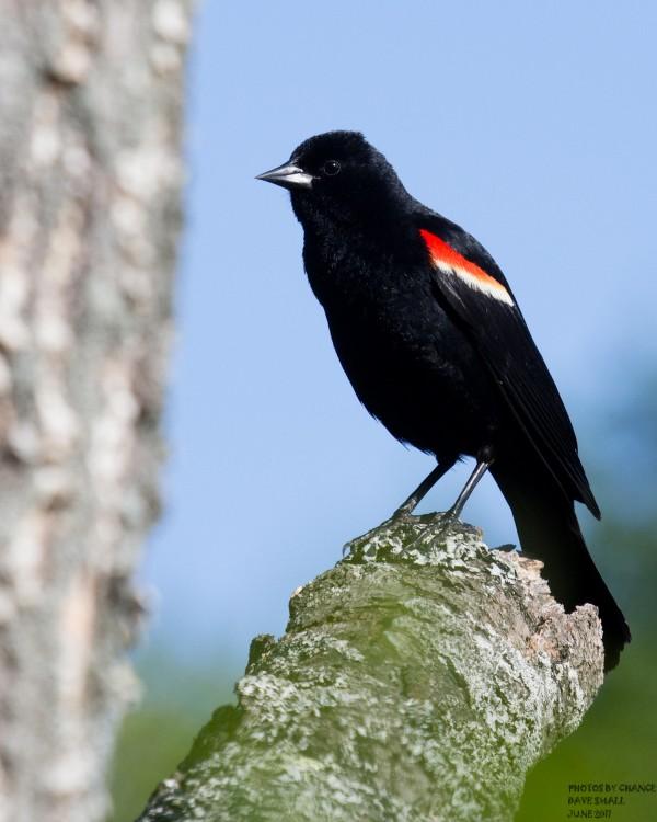 A striking red-winged blackbird.