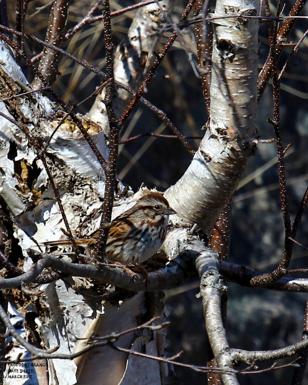 A Song Sparrow in the upper Sand Beach parking lot on Sunday, March 18, 2012.