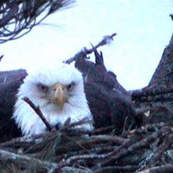 Camera captures eagle laying egg