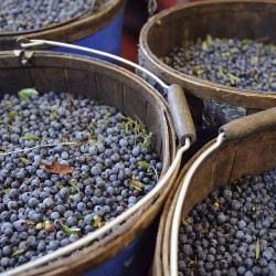 Wild blueberry harvest: celebrating 40 years of Maine's special fruit