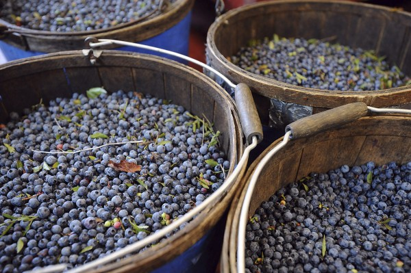 Just-raked baskets of blueberries are seen here at Spruce Mountain Blueberries in Rockport in 2010.