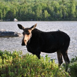 University of Maine research tackles issue of lungworm in moose