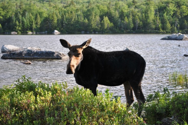 A cow moose waits for her calf to catch up as they browse the shore of a remote pond in the Katahdin region in July 2011.