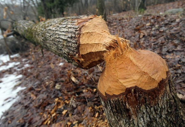 Volunteers found this beaver-chewed tree along the Kendall Lake trail during a beaver census in the Cuyahoga Valley National Park on Feb. 16, 2012, in Boston Township, Ohio, near Akron.
