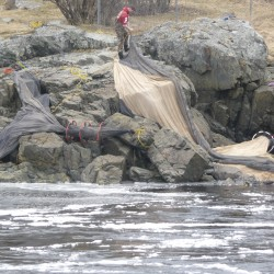 Greed and gangs attracted to Maine's lucrative elver fishery