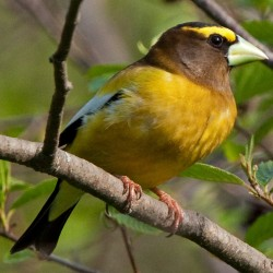 Feasting grosbeaks bring back memories