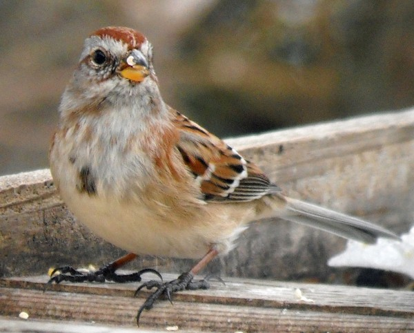 The American tree sparrow beeds widely across the Canadian subarctic, and many filter into Maine in winter.