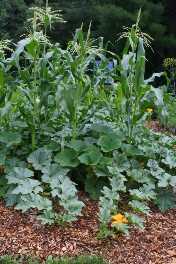 Growing sweet corn in the small garden Blogs and Columns