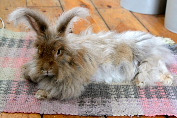 Mihitabelle the Angora rabbit relaxes on one of her favorite rugs at her home in Waldo on March 1, 2012. She is the pet of Rose Whitehead, a fiber artist who collects Mahitabelle's loose hair and spins it into yarn to use in the trim of hats.