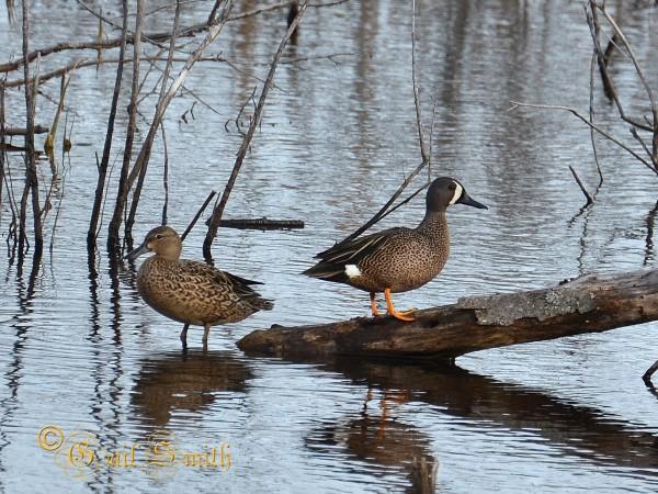 Pair of Blue-Winged Teal Ducks